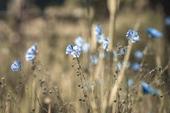 błękitne kwiaty Obraz Royalty Free