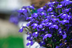 błękitne kwiaty Fotografia Stock