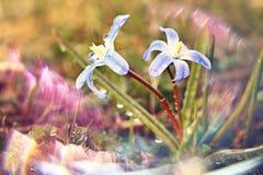 Błękitne małe kwiat śnieżyczki, wiosna krajobraz Zdjęcie Royalty Free