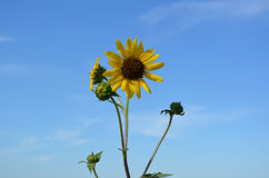 błękitne niebo słonecznikom przeciwko Zdjęcia Stock