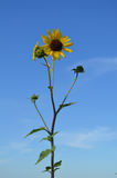 błękitne niebo słonecznikom przeciwko Obrazy Stock