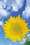 błękitne niebo słonecznikowi przeciwko Obrazy Royalty Free