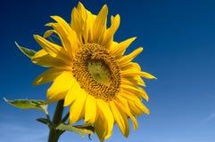 błękitne niebo słonecznikowi przeciwko Fotografia Stock