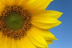 błękitne niebo słonecznikowi przeciwko Zdjęcie Royalty Free