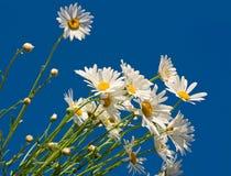 błękitne niebo z daisy Zdjęcie Royalty Free