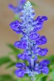 Błękitne szałwie kwitną w błękitnym purpura kolorze na zamazanym tle Obrazy Stock