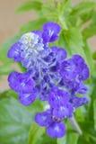 Błękitne szałwie kwitną w błękitnym purpura kolorze na zamazanym tle Obrazy Royalty Free