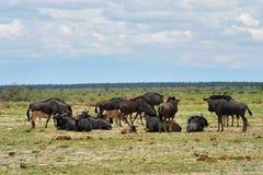 Błękitne wildebeest antylopy, Afryka Fotografia Royalty Free