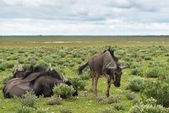 Błękitne wildebeest antylopy, Afryka Obrazy Stock