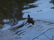 Błękitne wody i kaczka Fotografia Royalty Free
