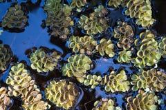 Błękitne Wody Lattuce pławik w wodzie obraz royalty free