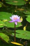 BŁĘKITNE WODY lelui kwiat (grzybienia) Zdjęcie Stock