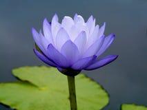 Błękitne wody leluja, lotos Obrazy Royalty Free