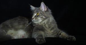Błękitnego Blotched Tabby Maine Coon Domowy kot, kobieta kłaść przeciw Czarnemu tłu, Normandy w Francja, zwolnione tempo zbiory