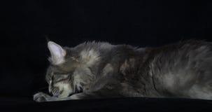 Błękitnego Blotched Tabby Maine Coon Domowy kot, kobieta kłaść przeciw Czarnemu tłu, oblizanie, Normandy w Francja, zwolnione tem zbiory