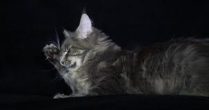 Błękitnego Blotched Tabby Maine Coon Domowy kot, kobieta kłaść przeciw Czarnemu tłu, oblizanie, Normandy w Francja, zwolnione tem zbiory wideo