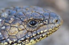 Błękitnego jęzoru śpiąca jaszczurka Zdjęcie Royalty Free