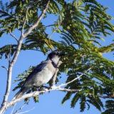 Błękitnego Jay ptak obraz royalty free