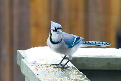 Błękitnego Jay ptak w zimie Fotografia Royalty Free