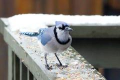 Błękitnego Jay ptak w zimie Fotografia Stock