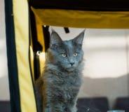 Błękitnego kota Maine Coon w wystawie obraz stock