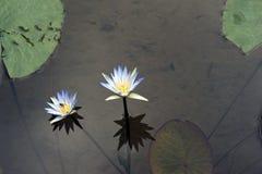 Błękitnego lotosu lub błękitne wody leluja Obrazy Stock