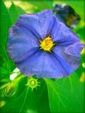 Błękitnego solanaceae kwiatu makro- tło i tapeta zdjęcie royalty free