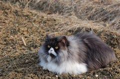 Błękitnego tabbie perski kot zdjęcia royalty free