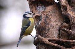 Błękitnego tit karmienie od mój drzewnego dozownika zdjęcie stock