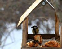 Błękitnego tit karmienie w zimie Zdjęcie Royalty Free