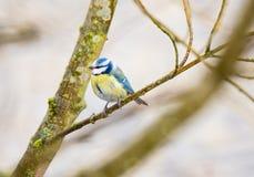 Błękitnego Tit ptak Fotografia Royalty Free