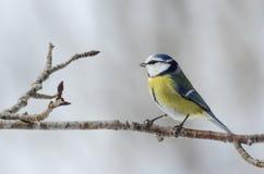 Błękitnego tit ptasi obsiadanie w drzewie zimny zima dzień Fotografia Stock