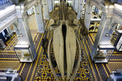Błękitnego wieloryba kościec przy historii naturalnej muzeum St Petersburg Rosja, Grudzień - 28th 2016 - zdjęcia stock