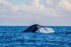 Błękitnego wieloryba ogon fotografia stock