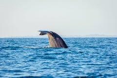 Błękitnego wieloryba ogon zdjęcie stock