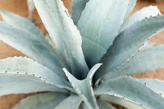 Błękitnej agawy tła kaktusowy zakończenie up Obraz Royalty Free