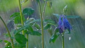 Błękitnej kolombiny kwiat pod deszczem zbiory