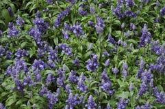 błękitnej mędrzec roślina Zdjęcie Stock
