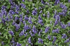 błękitnej mędrzec roślina Zdjęcie Royalty Free