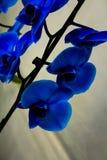 Błękitnej orchidei kwitnienie Obrazy Royalty Free