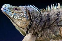 Błękitnej skały iguana, Cyclura lewisi/ Zdjęcie Stock
