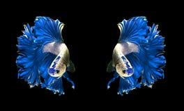 Błękitnej smok pary boju siamese ryba, betta ryba odizolowywająca dalej Zdjęcie Stock