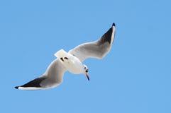 błękitnemu mewa lotu z nieba Zdjęcia Royalty Free