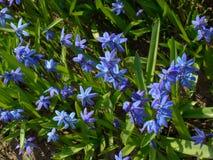 Błękitni śnieżyczka kwiaty Fotografia Royalty Free