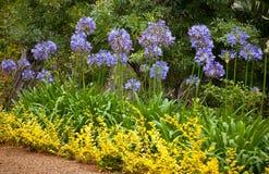 Błękitni Afrykańskiej lelui kwiaty (agapant Africanus) Zdjęcia Stock