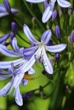 Błękitni agapantów kwiaty Zdjęcie Stock