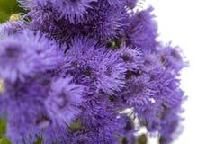 błękitni ageratum kwiaty odizolowywający Obraz Stock