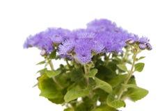 błękitni ageratum kwiaty odizolowywający Zdjęcie Stock