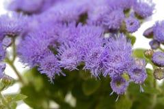 błękitni ageratum kwiaty odizolowywający Zdjęcia Royalty Free