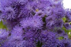 błękitni ageratum kwiaty odizolowywający Obraz Royalty Free